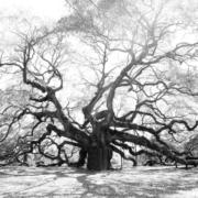 B&W large tree