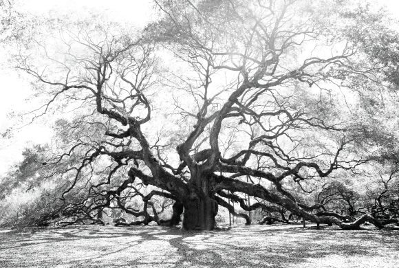 B&W large tree