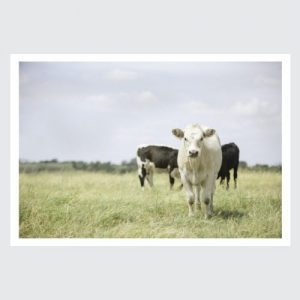 white cow in field