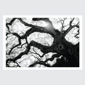 gnarled b & w tree