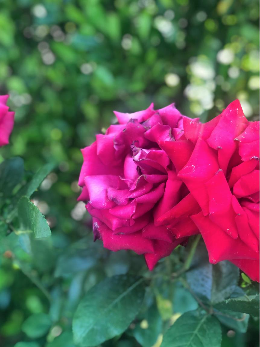 up close of a beautiful hot pink rose